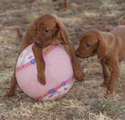 Vizsla Pups from the 2011 Litter Playing ball